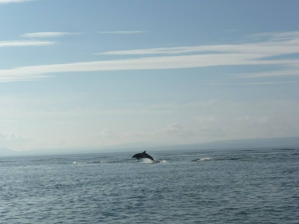 Dolphin Leaping in Lough Foyle.