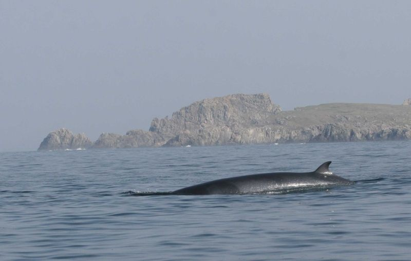 Minke Whale at Inishowen Head