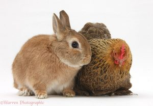 Partridge Pekin Bantam with Sandy Netherland dwarf-cross rabbit, Peter