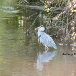 Heron With Rat in Mouth in Moville