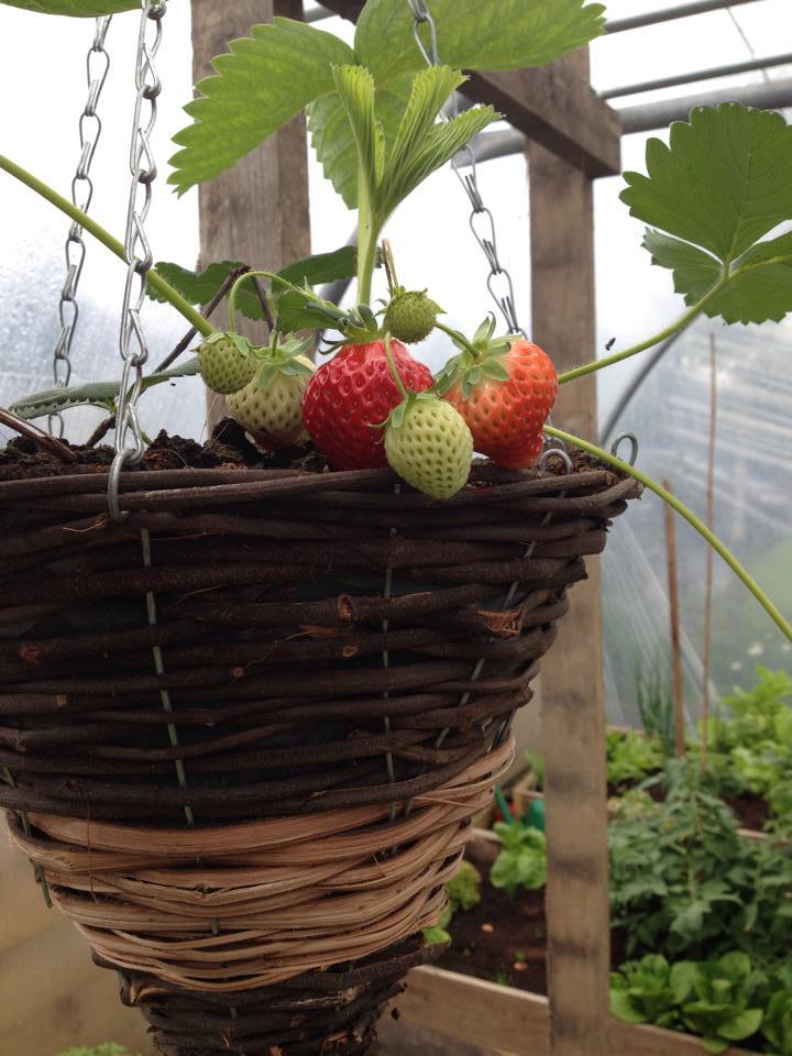 garden 1, strawberry