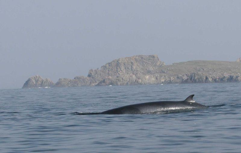 Minke Whale at Inishowen Head